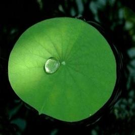 lotusleaf